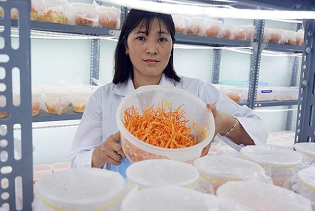 Gia Lai: Vợ chồng nông dân mày mò trồng dược liệu đông trùng hạ thảo - 1