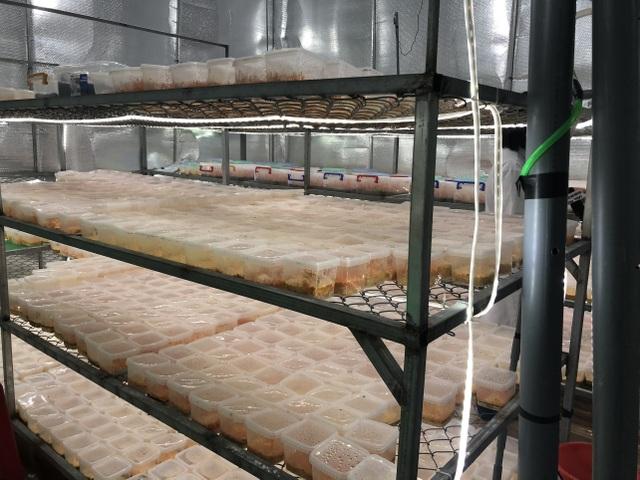 Gia Lai: Vợ chồng nông dân mày mò trồng dược liệu đông trùng hạ thảo - 2