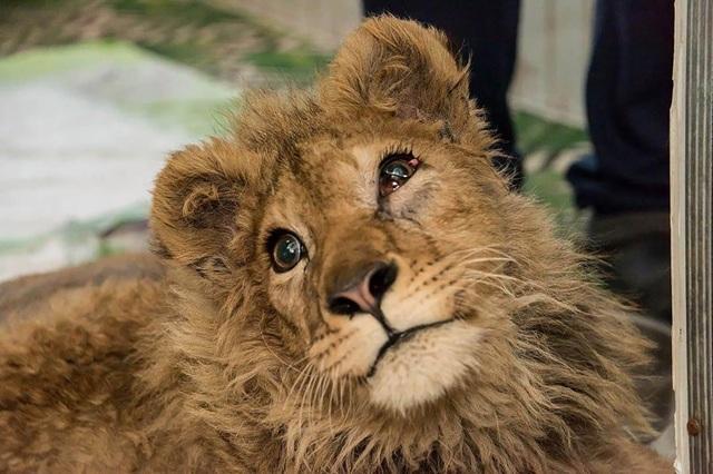 Giải cứu sư tử bị đánh gãy chân để không bỏ chạy khi chụp ảnh cùng du khách - 1