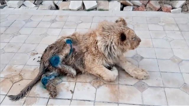 Giải cứu sư tử bị đánh gãy chân để không bỏ chạy khi chụp ảnh cùng du khách - 2