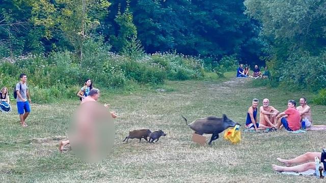 Người đàn ông khỏa thân chạy tức tưởi đuổi theo chú lợn rừng trộm laptop - 1