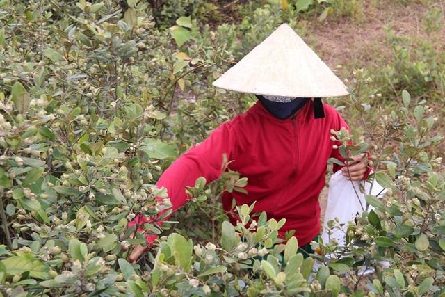 Hà Tĩnh: Người dân đổ xô đi hái sim, bỏ túi vài trăm nghìn đồng/ngày - 5