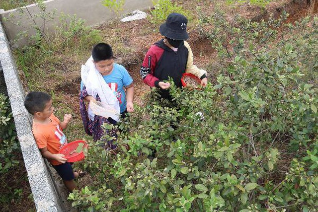 Hà Tĩnh: Người dân đổ xô đi hái sim, bỏ túi vài trăm nghìn đồng/ngày - 10
