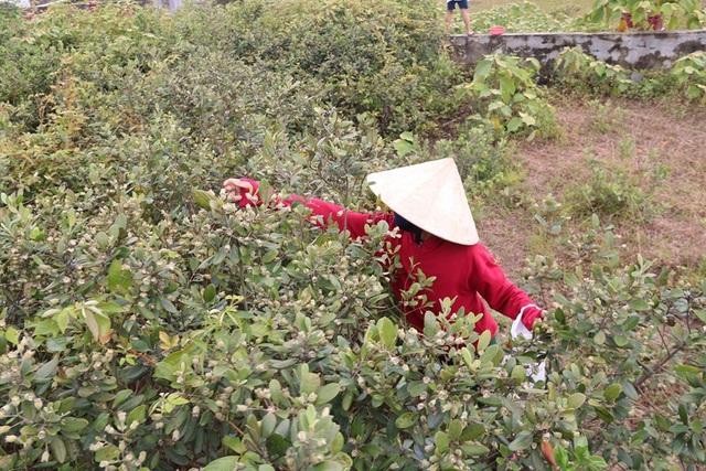 Hà Tĩnh: Người dân đổ xô đi hái sim, bỏ túi vài trăm nghìn đồng/ngày - 1