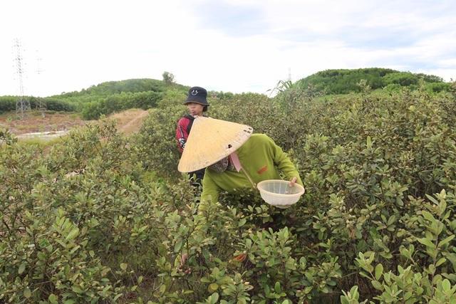 Hà Tĩnh: Người dân đổ xô đi hái sim, bỏ túi vài trăm nghìn đồng/ngày - 9