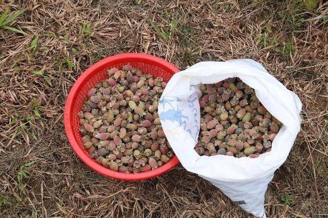 Hà Tĩnh: Người dân đổ xô đi hái sim, bỏ túi vài trăm nghìn đồng/ngày - 11