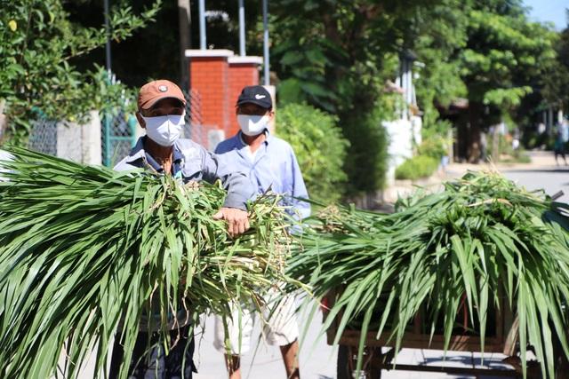 Quảng Ngãi:  Áo xanh lội ruộng tìm thức ăn cho vật nuôi khu cách ly - 6