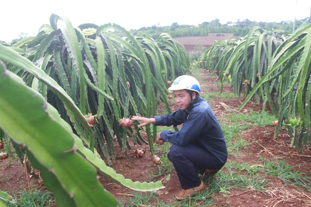 Đắk Lắk: Nông dân khóc ròng vì giá thanh long chỉ bằng... ly trà đá - 2