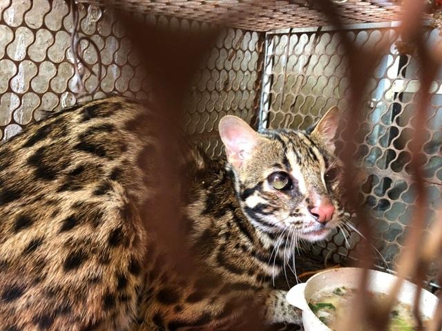 Chủ nhà hàng mua mèo rừng quý hiếm để bàn giao cho trung tâm cứu hộ - 1