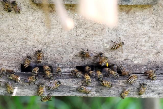 Hà Tĩnh: Làm giàu từ nuôi loài ...ruồi có độc - 8