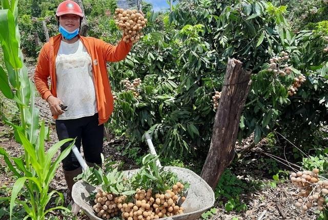 Đắk Nông: Thu gần nửa tỷ đồng nhờ trồng nhãn trên vùng đất đá ong - 4