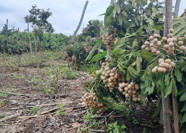 Đắk Nông: Thu gần nửa tỷ đồng nhờ trồng nhãn trên vùng đất đá ong - 2