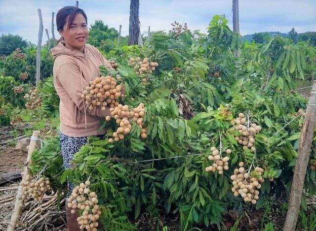 Đắk Nông: Thu gần nửa tỷ đồng nhờ trồng nhãn trên vùng đất đá ong - 1