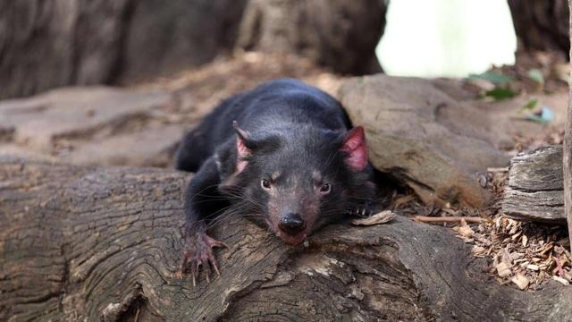 Căn bệnh kỳ lạ ở quỷ Tasmania có thể giúp điều trị ung thư ở người - 1