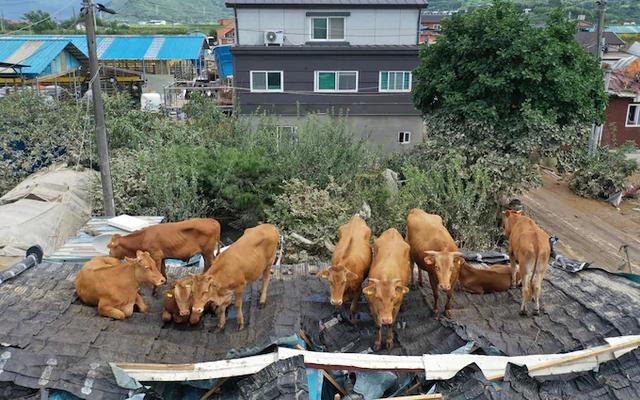 Giải cứu đàn bò mắc kẹt... trên mái nhà vì mưa lũ - 1