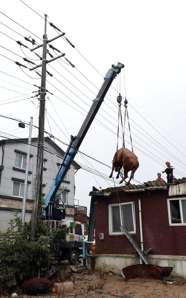 Giải cứu đàn bò mắc kẹt... trên mái nhà vì mưa lũ - 3