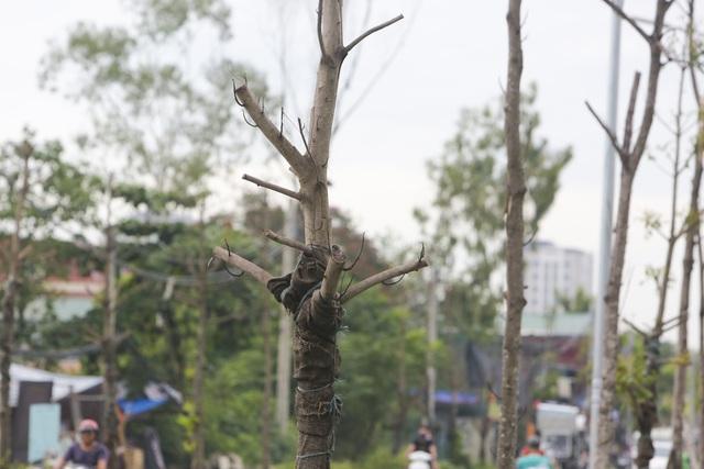 Hà Nội: Hàng trăm cây xanh tiếp tục đột tử trên con đường mới mở - 4