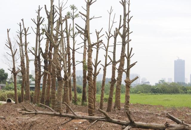 Hà Nội: Hàng trăm cây xanh tiếp tục đột tử trên con đường mới mở - 14