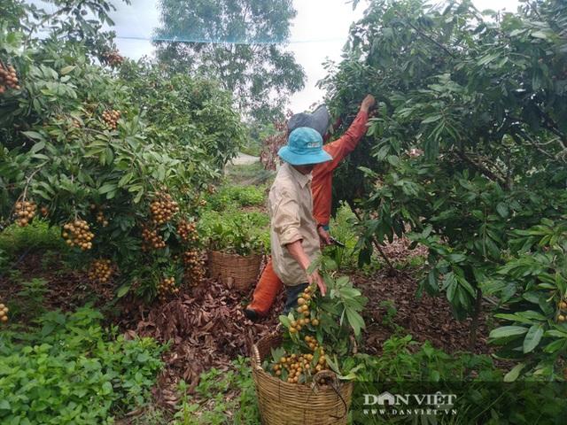 Giá nhãn, giá thanh long chỉ bằng bó rau muống, bán 3 tấn được 10 triệu đồng, nông dân suy sụp - 1
