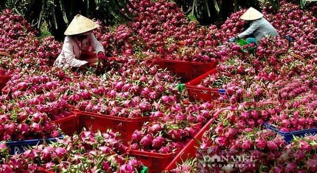Giá nhãn, giá thanh long chỉ bằng bó rau muống, bán 3 tấn được 10 triệu đồng, nông dân suy sụp - 5