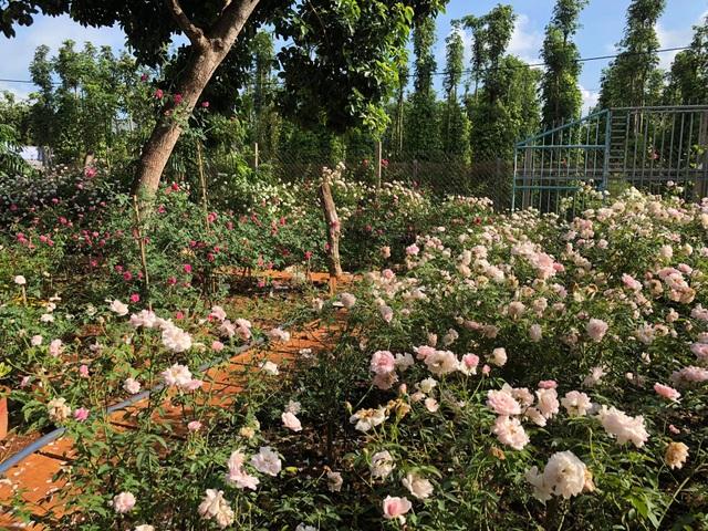 Ông bố ở Vũng Tàu làm nhà gỗ, trồng cả vườn hồng quý tặng con gái - 8