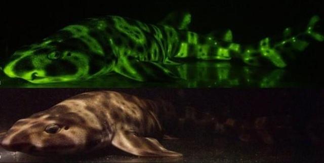 Phát hiện cá mập phát sáng bí ẩn dưới đáy đại dương - 1