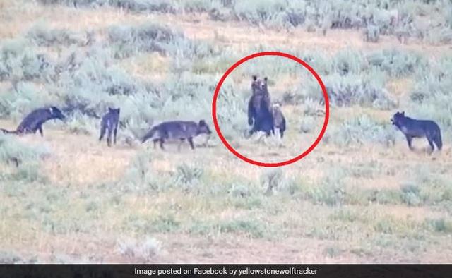 Clip gấu mẹ anh dũng bảo vệ đàn con khỏi đàn sói dữ - 1