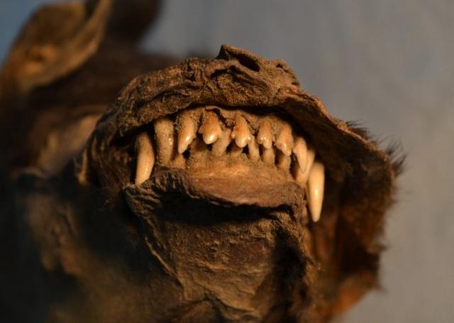 Nga: Sinh vật 14.000 năm vẫn nguyên vẹn như lúc sống, phát hiện bất ngờ trong ruột - 1