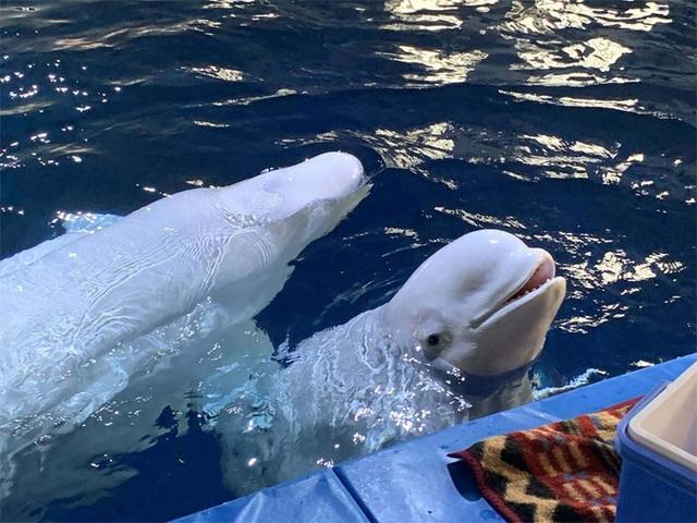Hai chú cá voi mỉm cười khi được giải cứu khỏi vườn thú - 1