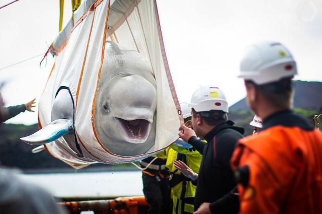 Hai chú cá voi mỉm cười khi được giải cứu khỏi vườn thú - 2