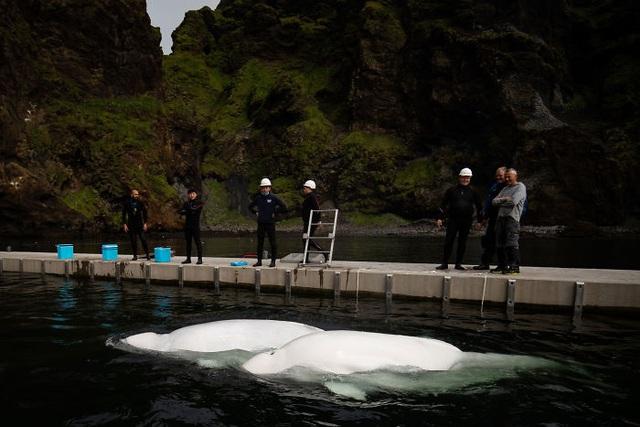 Hai chú cá voi mỉm cười khi được giải cứu khỏi vườn thú - 7
