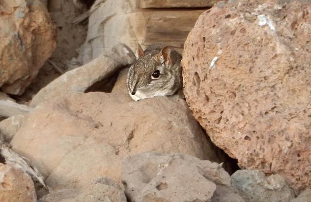 Chuột chù voi cực hiếm bất ngờ xuất hiện trở lại sau nửa thế kỷ biến mất - 2