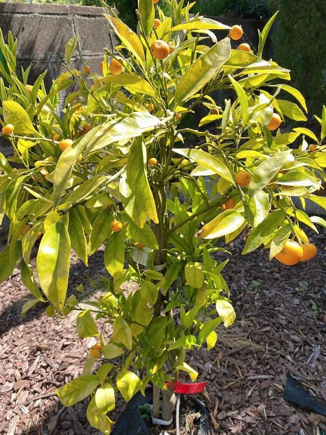 Biệt thự triệu đô với vườn rau trái tươi tốt ở Mỹ của ca sĩ Nhật Tinh Anh - 8