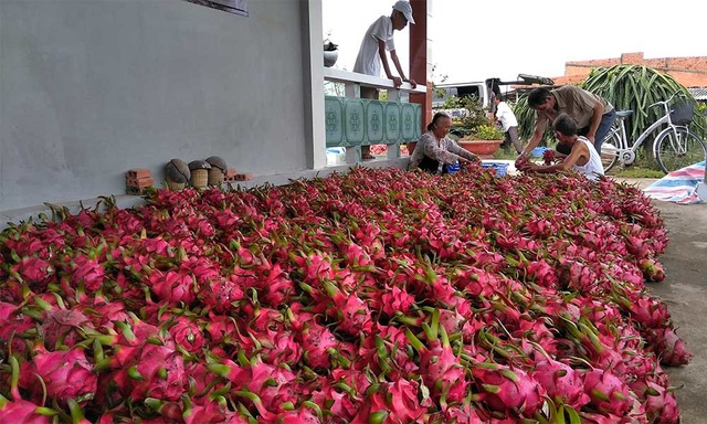 Ở vườn dân bán rẻ như cho, ra Hà Nội bán lại đắt gấp 25 lần - 1