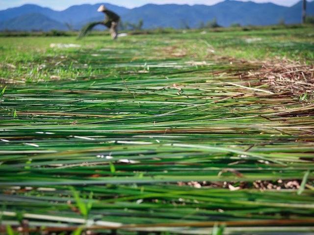 Vẻ đẹp thôn quê bình dị mùa thu hoạch cói ở ốc đảo Hồng Lam - 13