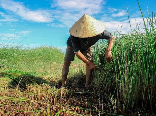 Vẻ đẹp thôn quê bình dị mùa thu hoạch cói ở ốc đảo Hồng Lam - 2
