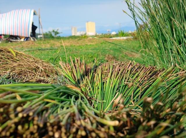 Vẻ đẹp thôn quê bình dị mùa thu hoạch cói ở ốc đảo Hồng Lam - 4