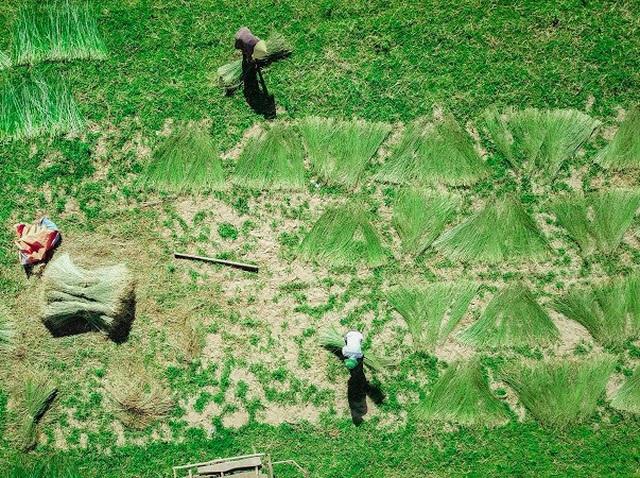 Vẻ đẹp thôn quê bình dị mùa thu hoạch cói ở ốc đảo Hồng Lam - 5