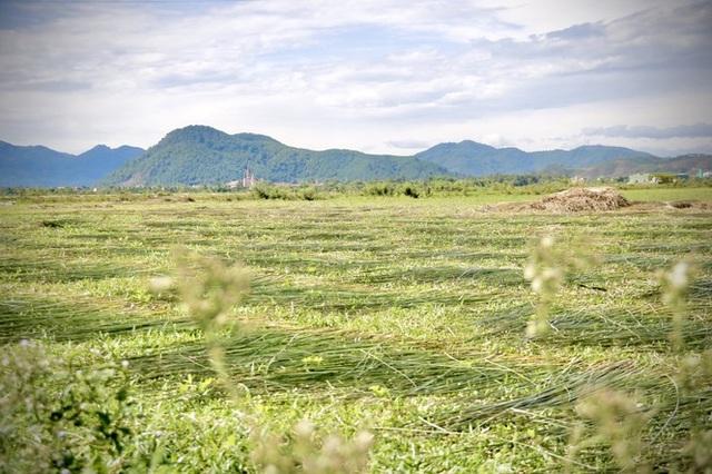Vẻ đẹp thôn quê bình dị mùa thu hoạch cói ở ốc đảo Hồng Lam - 6