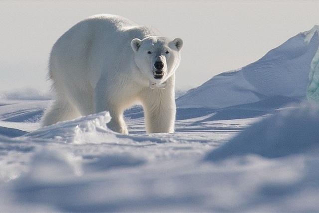 Gấu Bắc cực tấn công làm 1 người chết tại Na Uy                     - 1