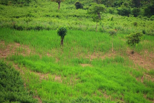 Trên 2 vạn người dân ở huyện biên giới Nghệ An cần gạo cứu đói - 2