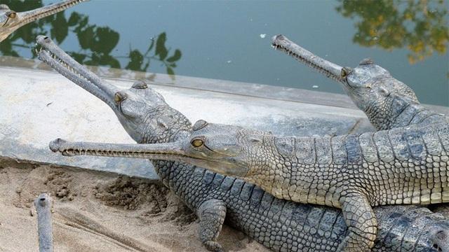 Đàn cá sấu con bám chi chít trên lưng bố cùng vượt sông - 3