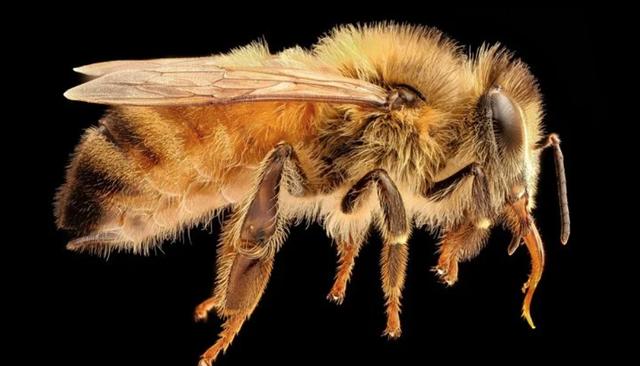 Phân tử trong nọc độc của ong mật có thể tiêu diệt tế bào ung thư vú - 1