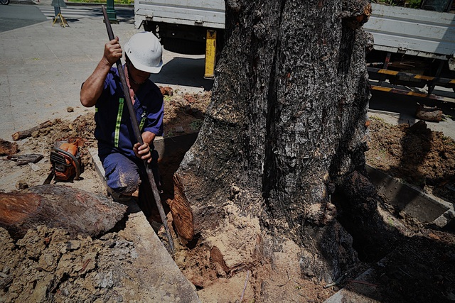 TPHCM: Đốn hạ cây xanh trước Hội trường Thống Nhất - 4