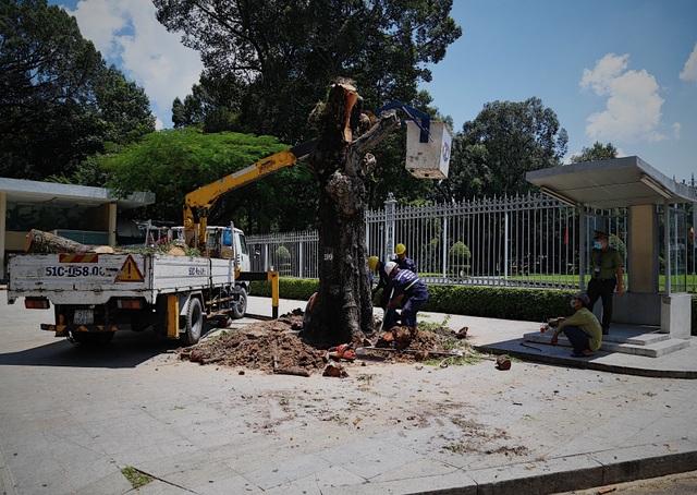 TPHCM: Đốn hạ cây xanh trước Hội trường Thống Nhất - 2