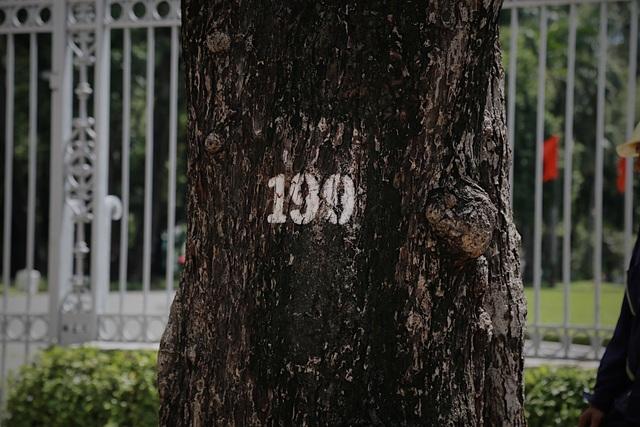 TPHCM: Đốn hạ cây xanh trước Hội trường Thống Nhất - 1