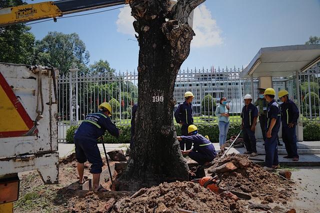 TPHCM: Đốn hạ cây xanh trước Hội trường Thống Nhất - 5