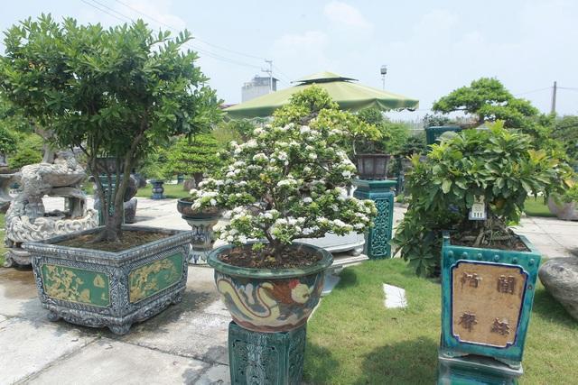 Mục sở thị khu vườn gần 1.000 cây cảnh bonsai hiếm có đất Hà Thành - 6