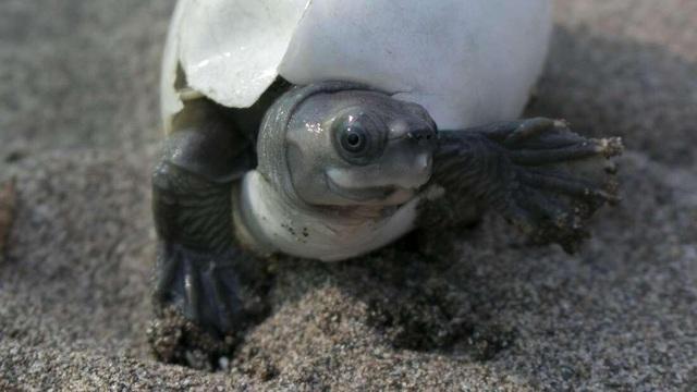 Rùa mặt cười hồi sinh sau khi tưởng chừng tuyệt chủng - 1