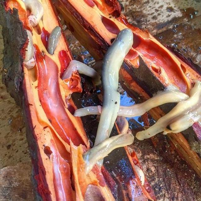Ăn sống sâu gỗ bò lúc nhúc trong thân gỗ mục - 1